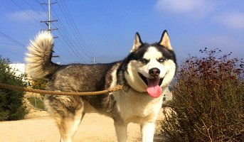 90 Minute dog run Husky image